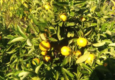 Winter seasonal produce (+Flourless Orange & Macadamia Cake recipe)
